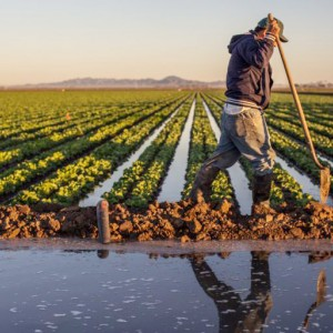 A farmer holding a long handled shovel, and wearing a baseball cap, hoodie, dirt-smeared jeans, and rubber boots, walks past rows of low-growing green plants with water in between them. The rows of his crops recede into the distance where they meet purple mountains at the horizon. In the foreground, there is a pool of water separated from the field by a low dirt barrier. The farmer is reflected in the water.