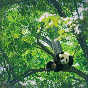 A panda cub sits among the branches of a eucalyptus tree